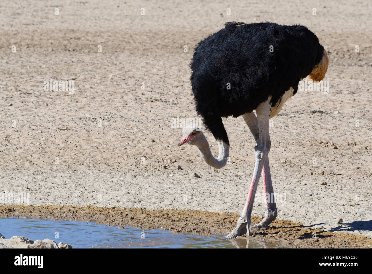 South African ostrich (Struthio camelus australis), adult male drinking at a waterhole, Kgalagadi Transfrontier Stock Photo
