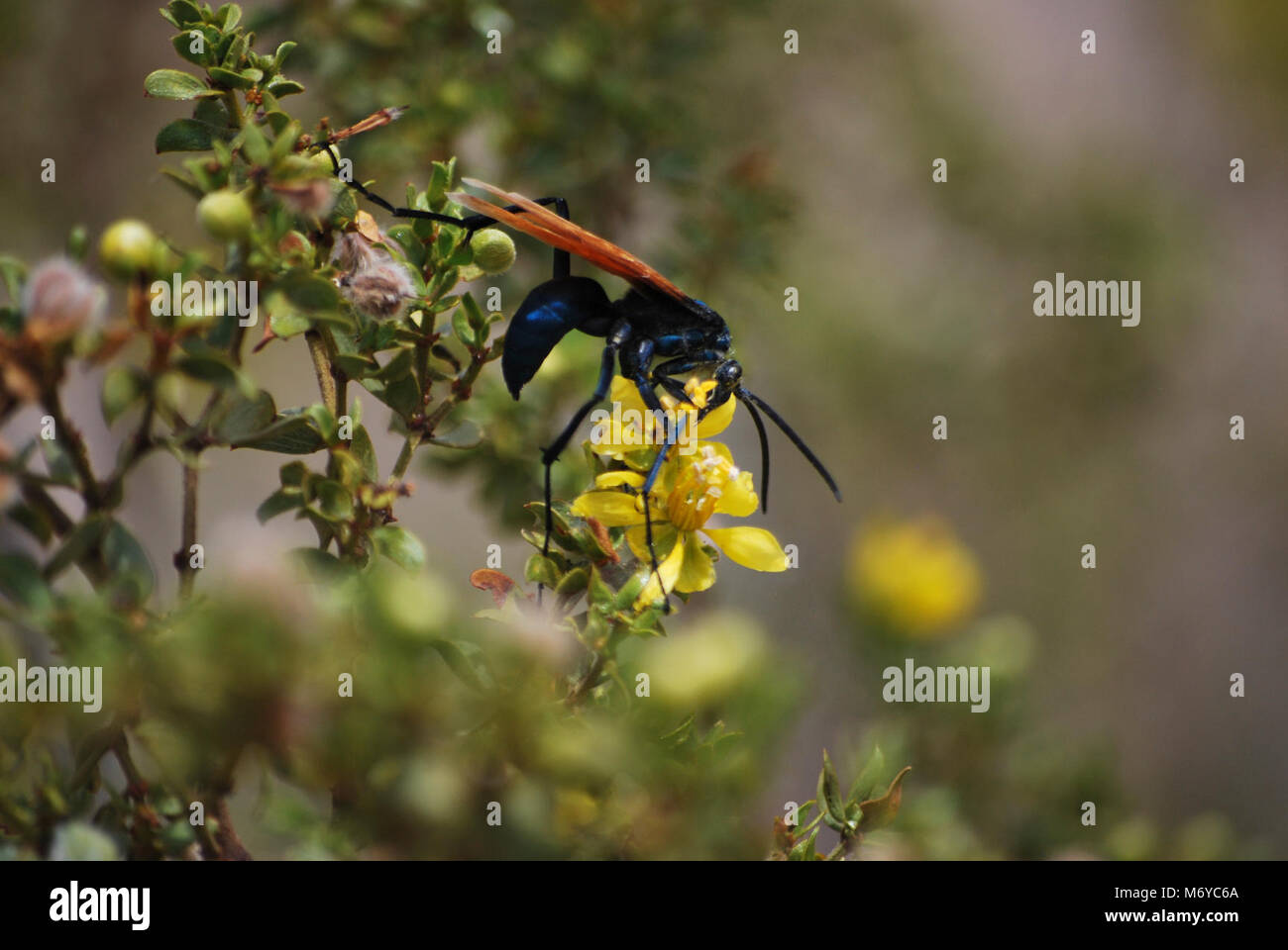 American Sand Wasp Stock Photos & American Sand Wasp Stock Images