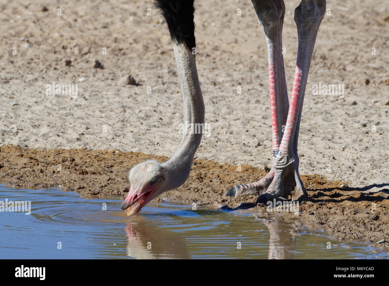 South African ostrich (Struthio camelus australis), adult male drinking at a waterhole, Kgalagadi Transfrontier - Stock Image