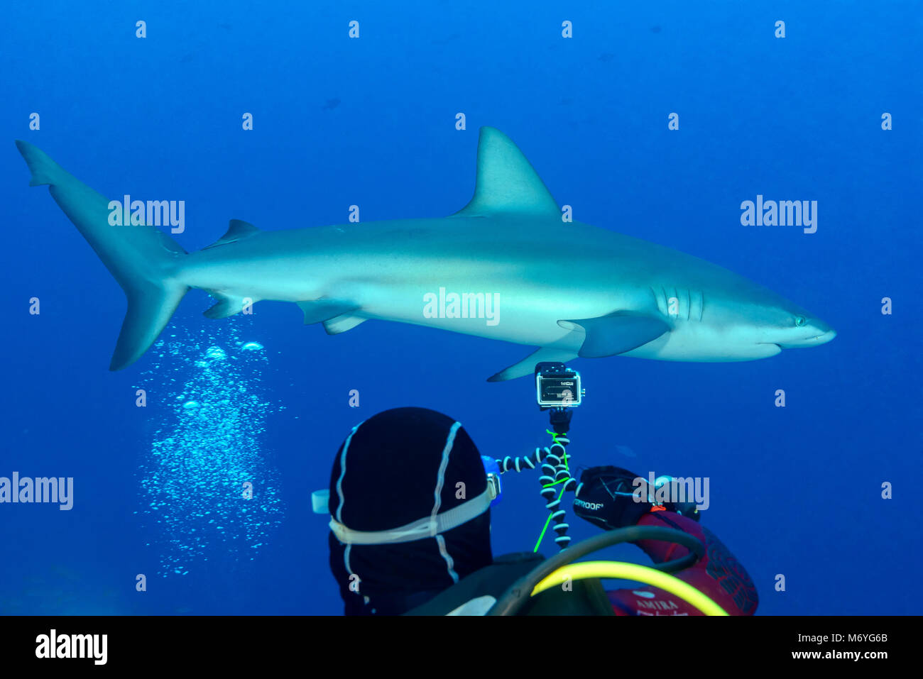 Galapagos shark,Carcharhinus galapagensis,and scuba diver,Cocos Island,Costa Rica,Pacific Ocean,MR Yes - Stock Image