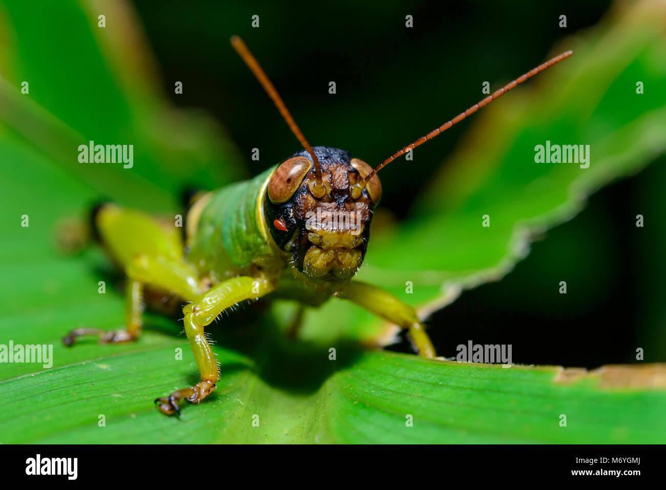 Green Grasshopper,Orthoptera (Order),Caelifera (Suborder),Costa Rica,Carara Nationa Park - Stock Image