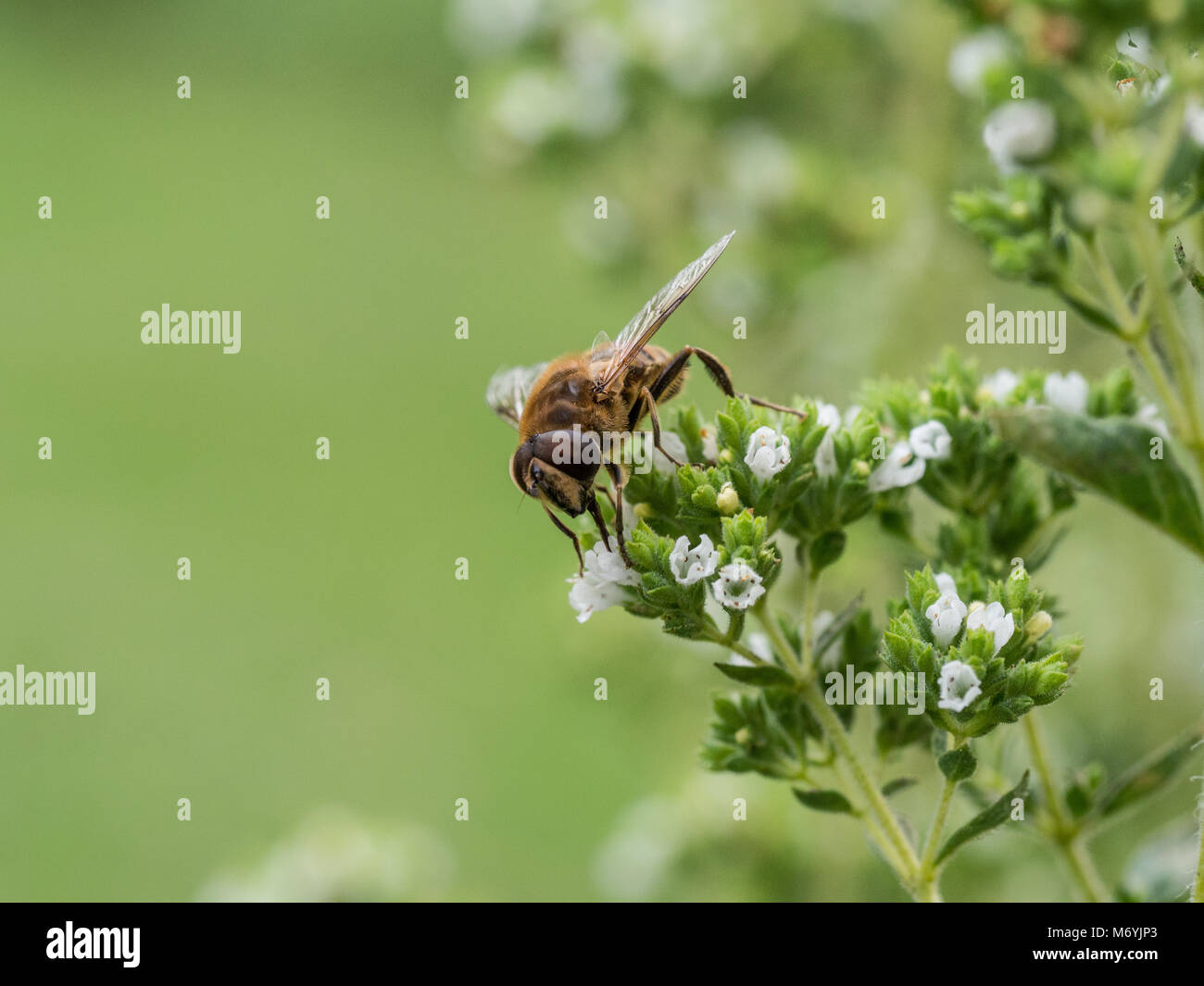 Close up of a communal mining bee feeding on an Origanum flower - Stock Image