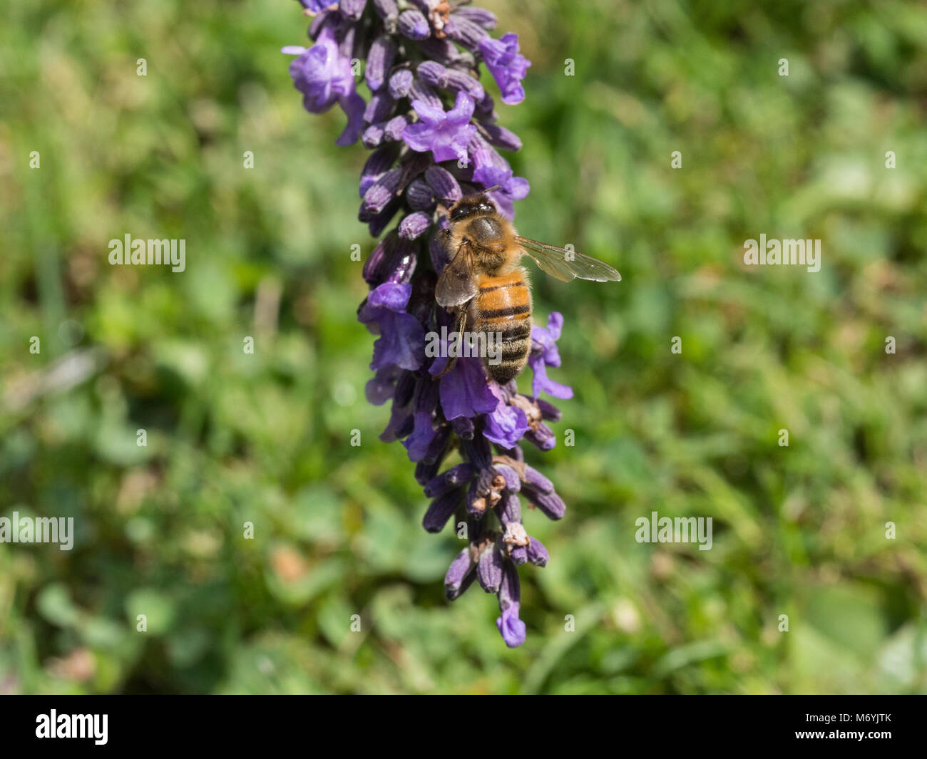 Close up of a honey bee feeding on a lavender flower spike - Stock Image