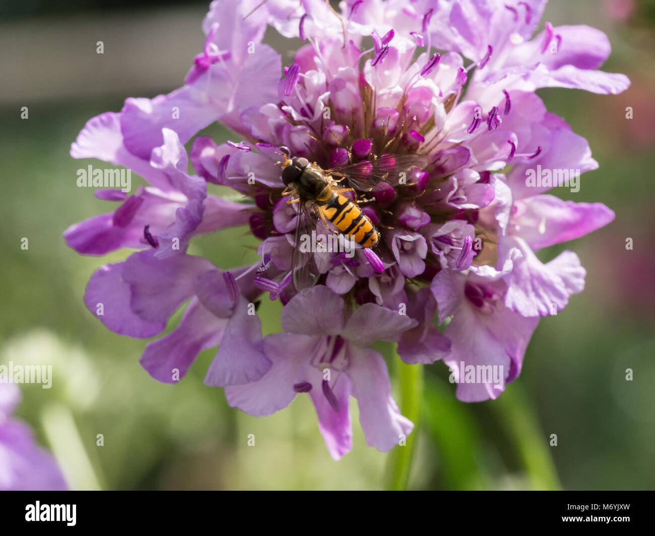 A marmalade hoverfly feeding on the powder blue flower of a scabious - Stock Image