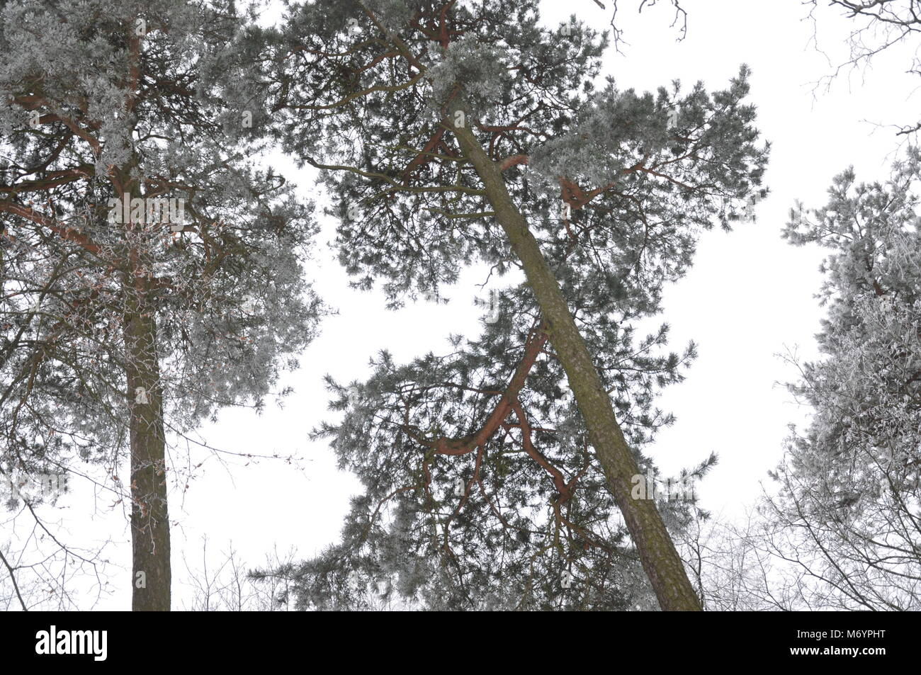 Winter in Lithuania. Forest 2018. - Stock Image