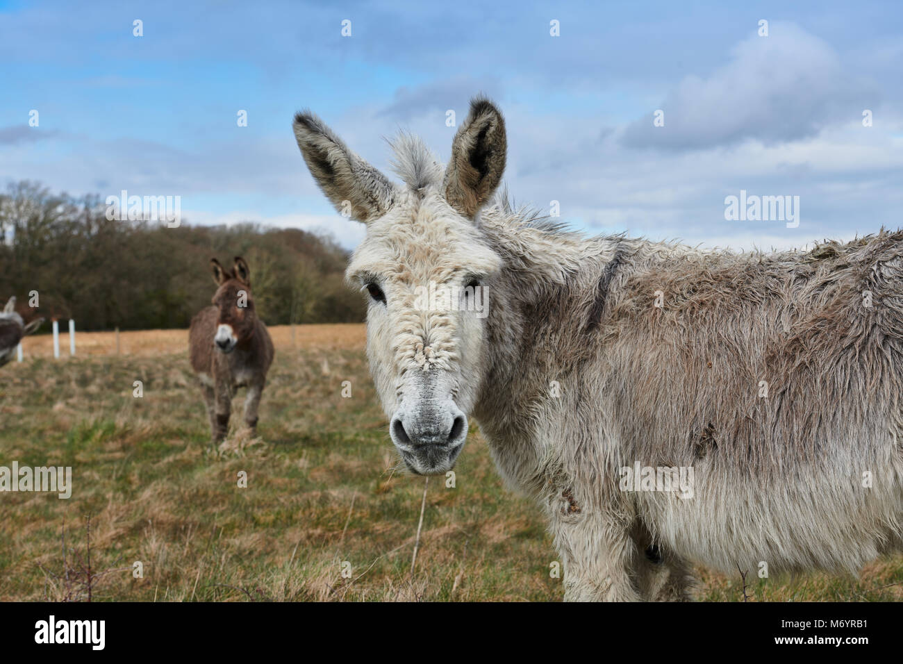 A pair of donkeys in a field in the New Forest area, the front donkey Is looking directly towards the camera, with - Stock Image
