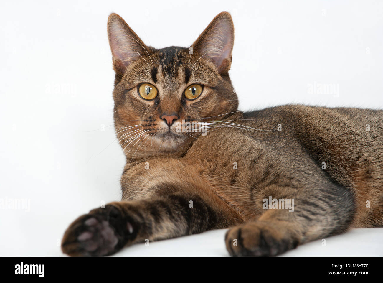 Cute wide-eyed part Abyssinian young male cat watching curiously - Stock Image