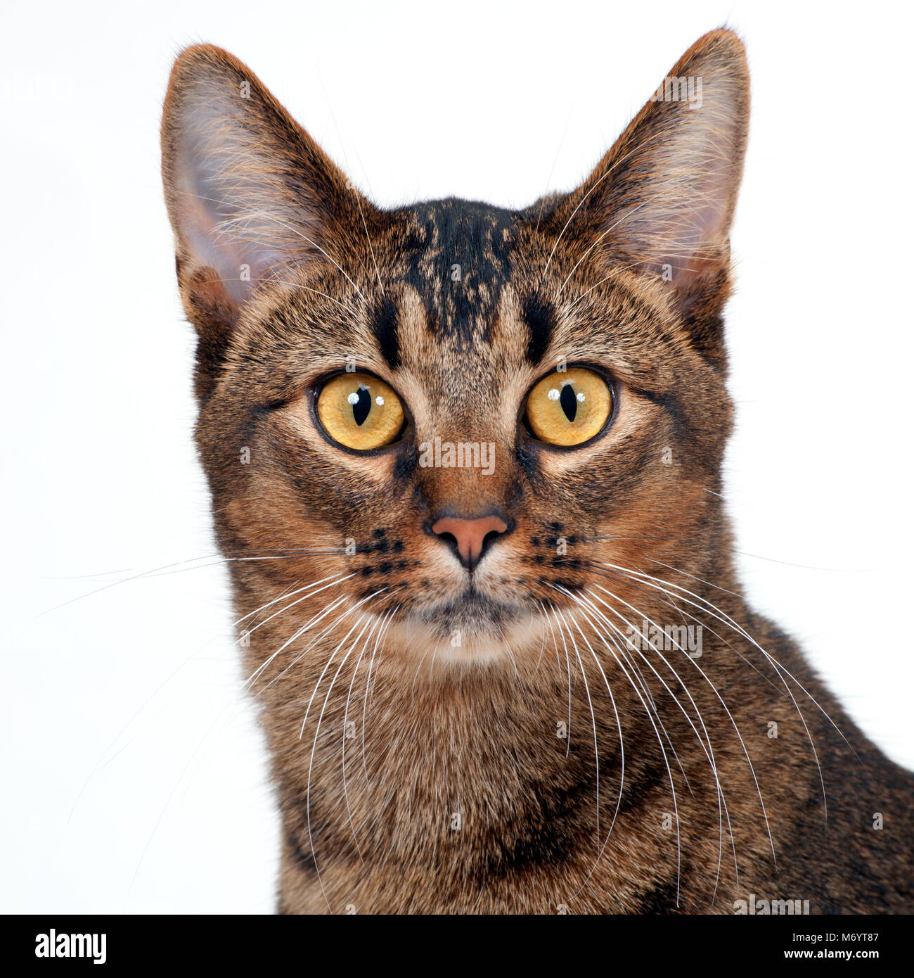 Striking amber eyed part Abyssinian young male cat looking at the camera - Stock Image