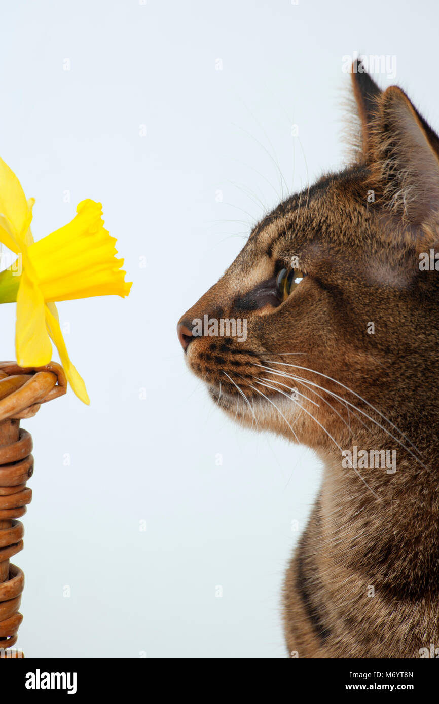 Cute part Abyssinian young male cat studying a daffodil - Stock Image