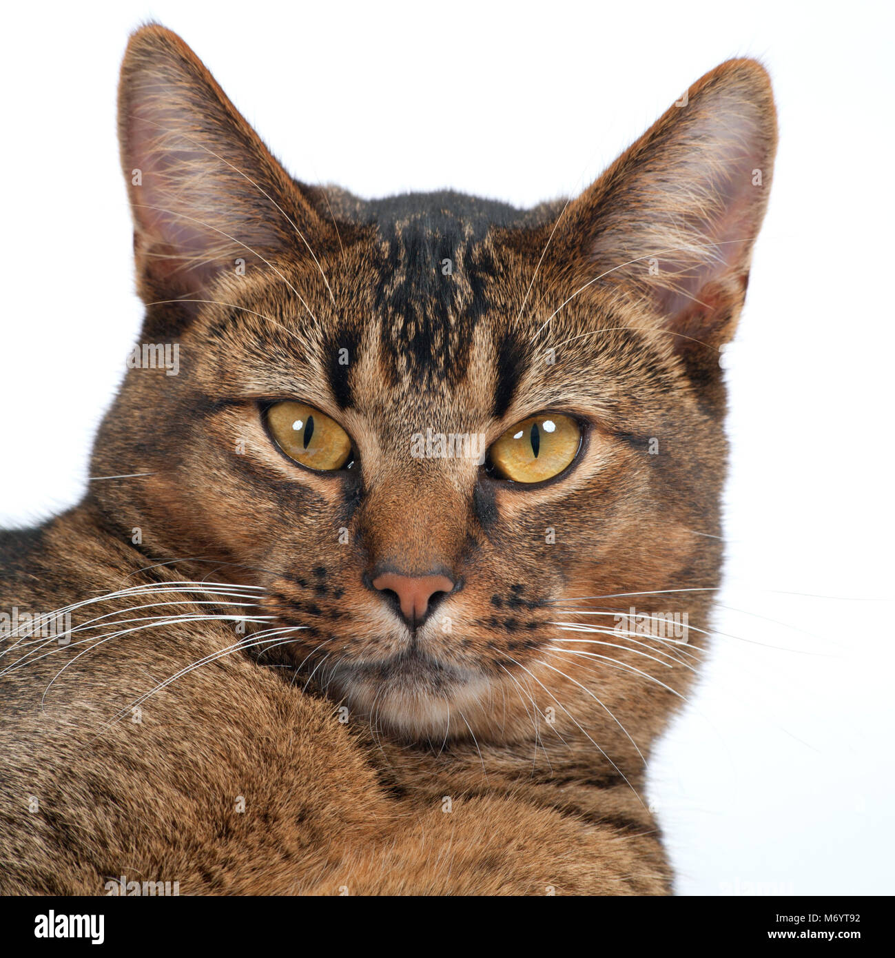 Stunning amber eyes of a part Abyssinian young male cat looking at the camera - Stock Image