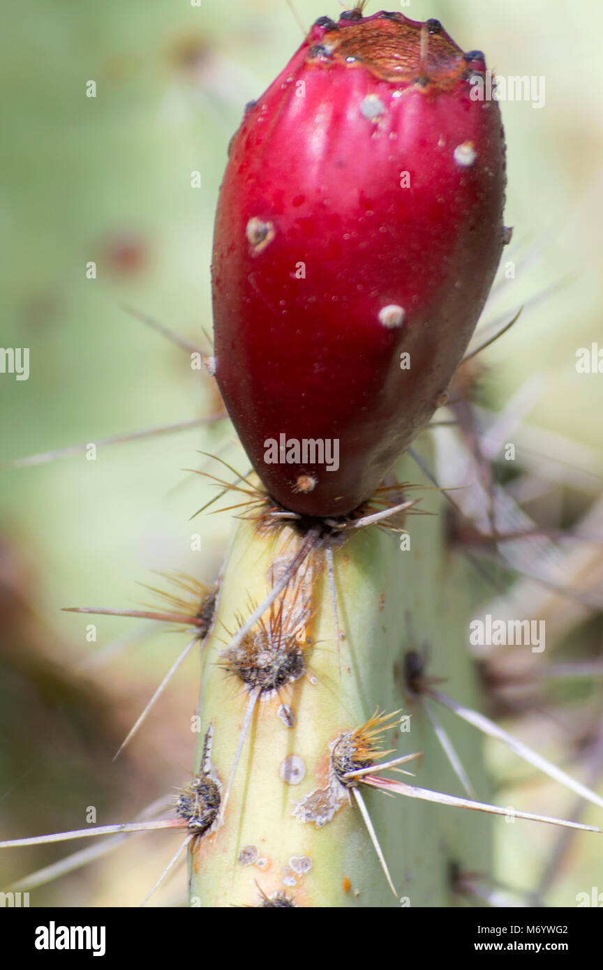 prickly pear cactus up close - Stock Image
