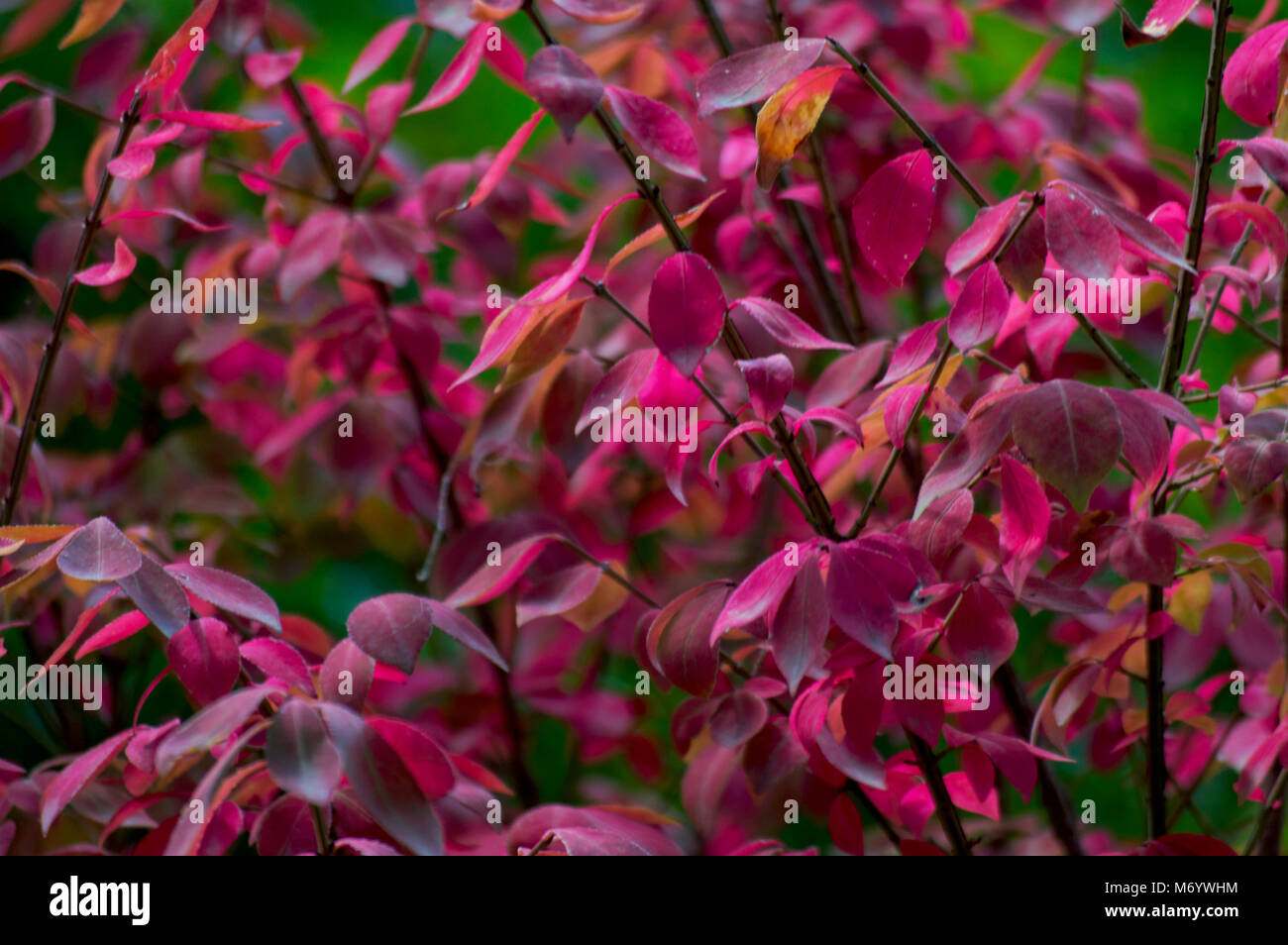 close up of plant with pink leaves - Stock Image