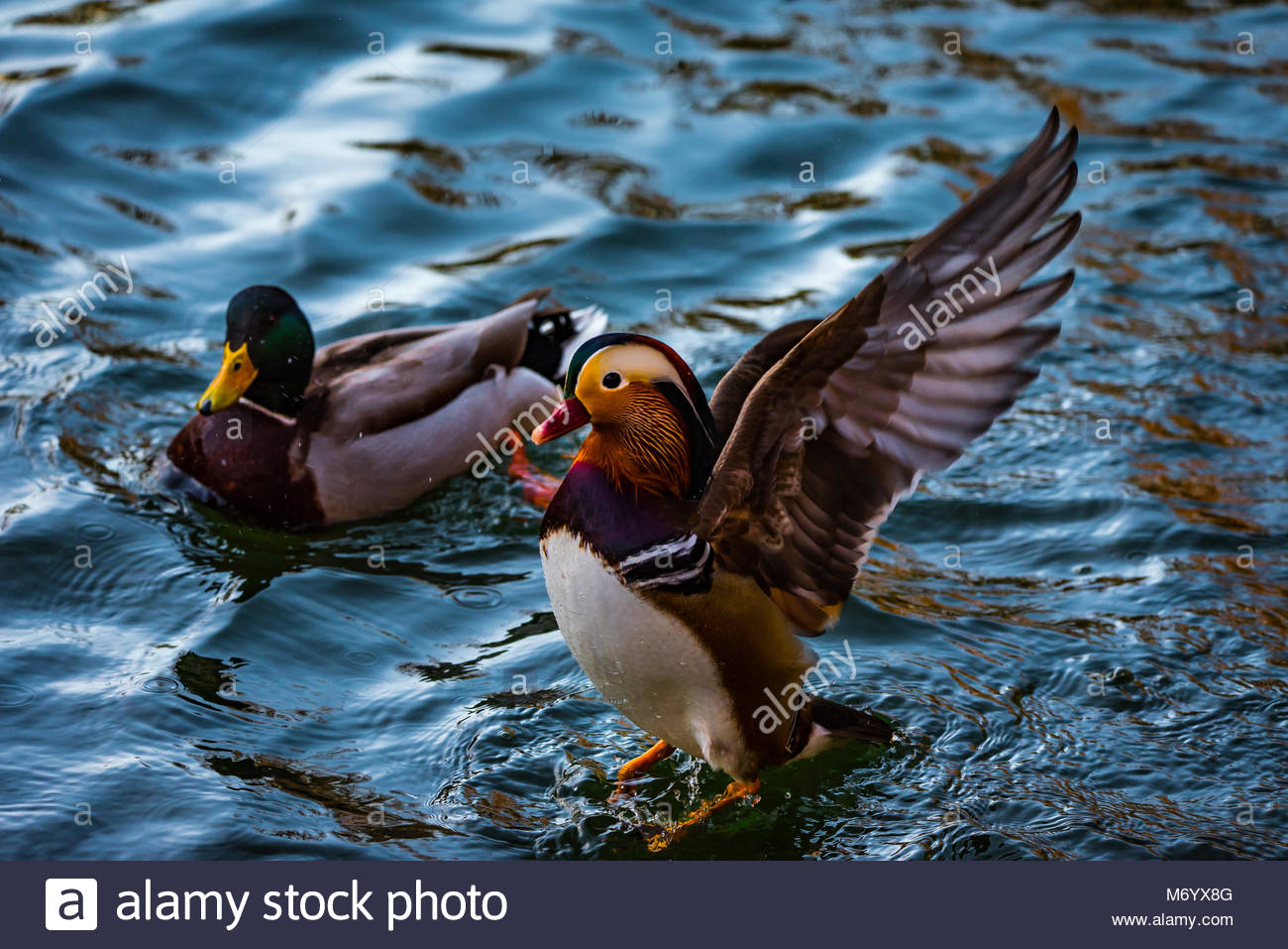 Little chinese Mandarine Duck flapping it's wings impressing everybody. - Stock Image