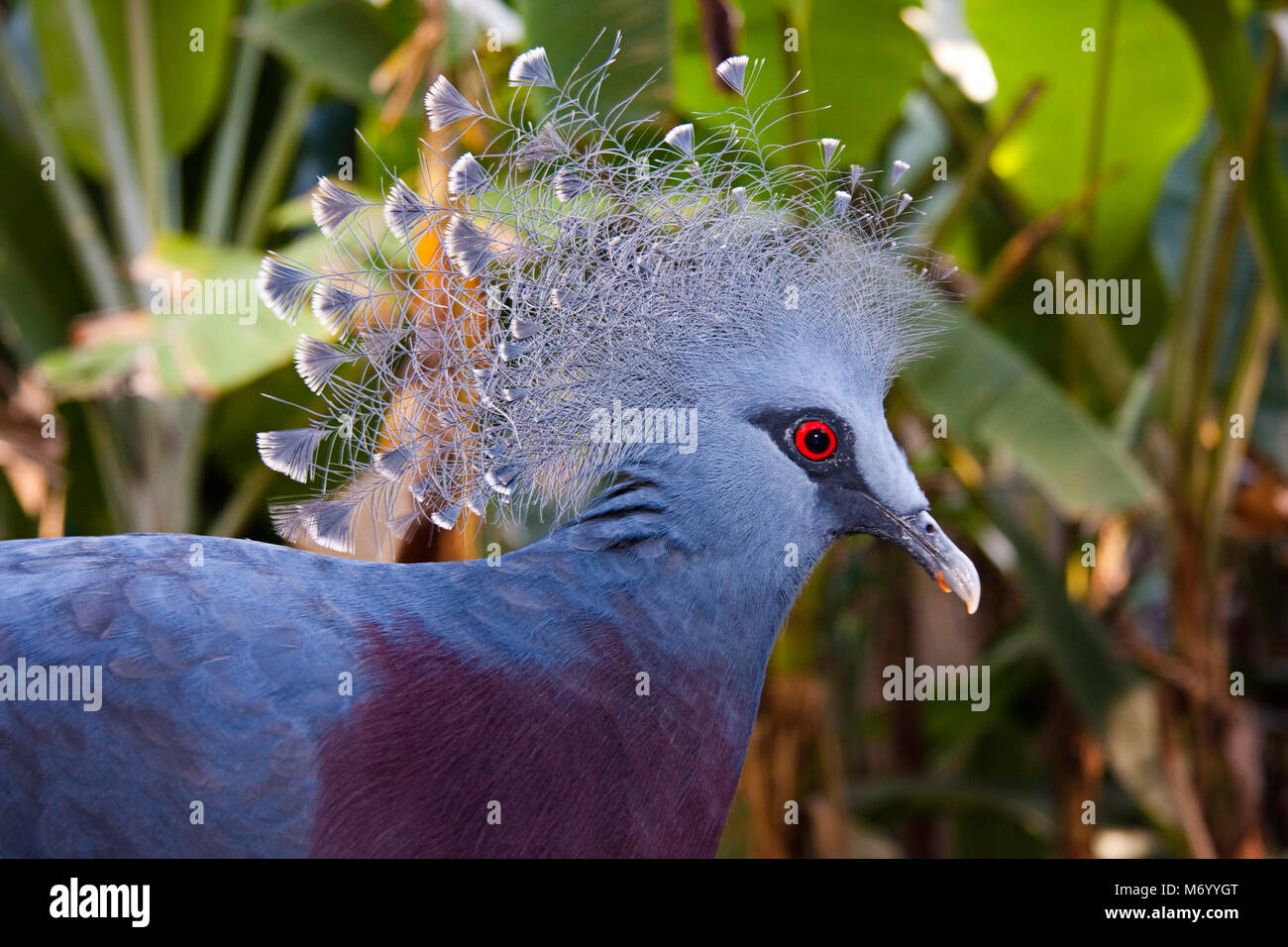 The Victoria Crowned Pigeon, Goura victoria, is evaluated as Vulnerable on the IUCN Red List of Threatened Species - Stock Image