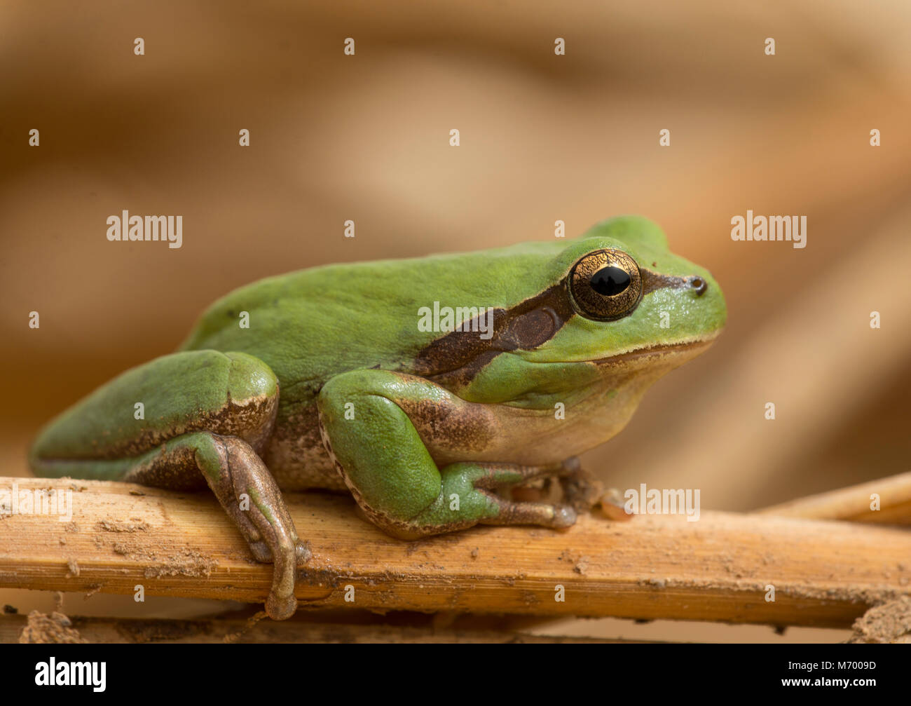 Stripeless Tree frog (Hyla meridionalis) sat on a reed stem in Morocco North Africa. - Stock Image