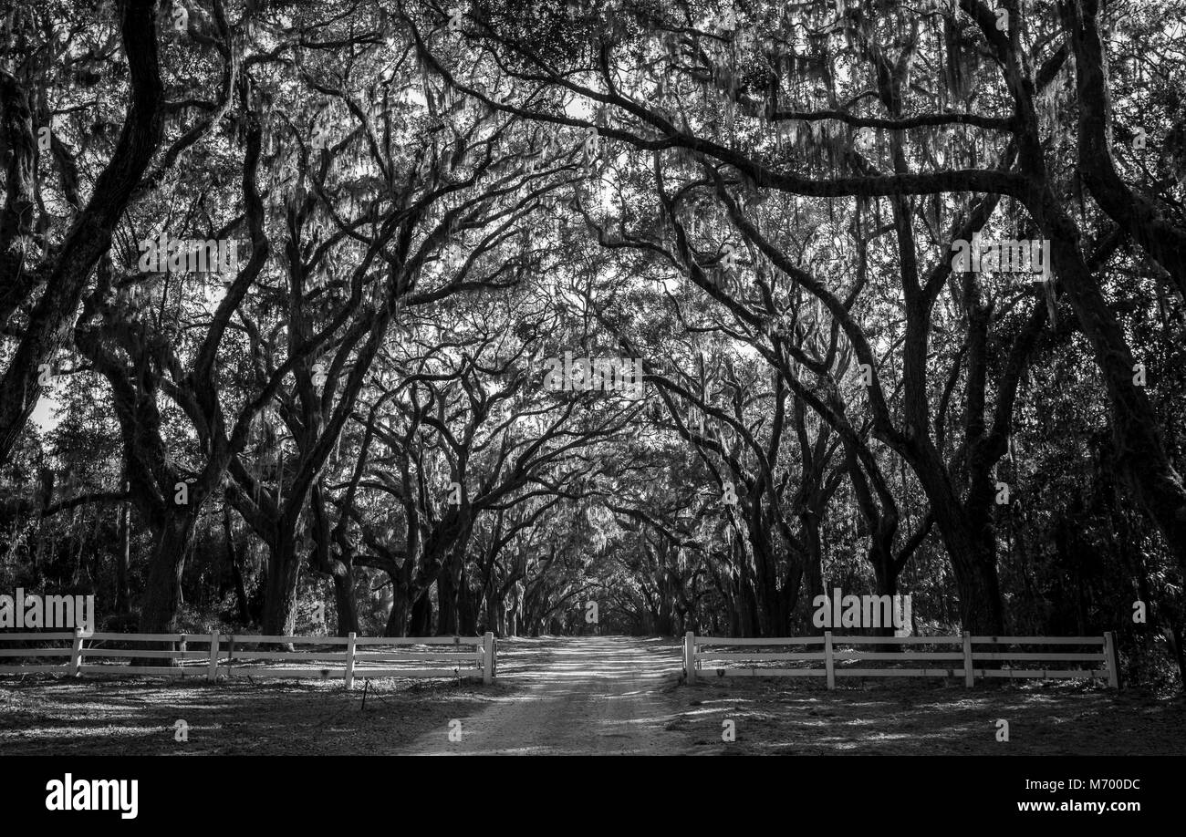 Black and White image of beautiful live oaks lining a drive in Wormsloe Historic Site in Savannah, Georgia - Stock Image