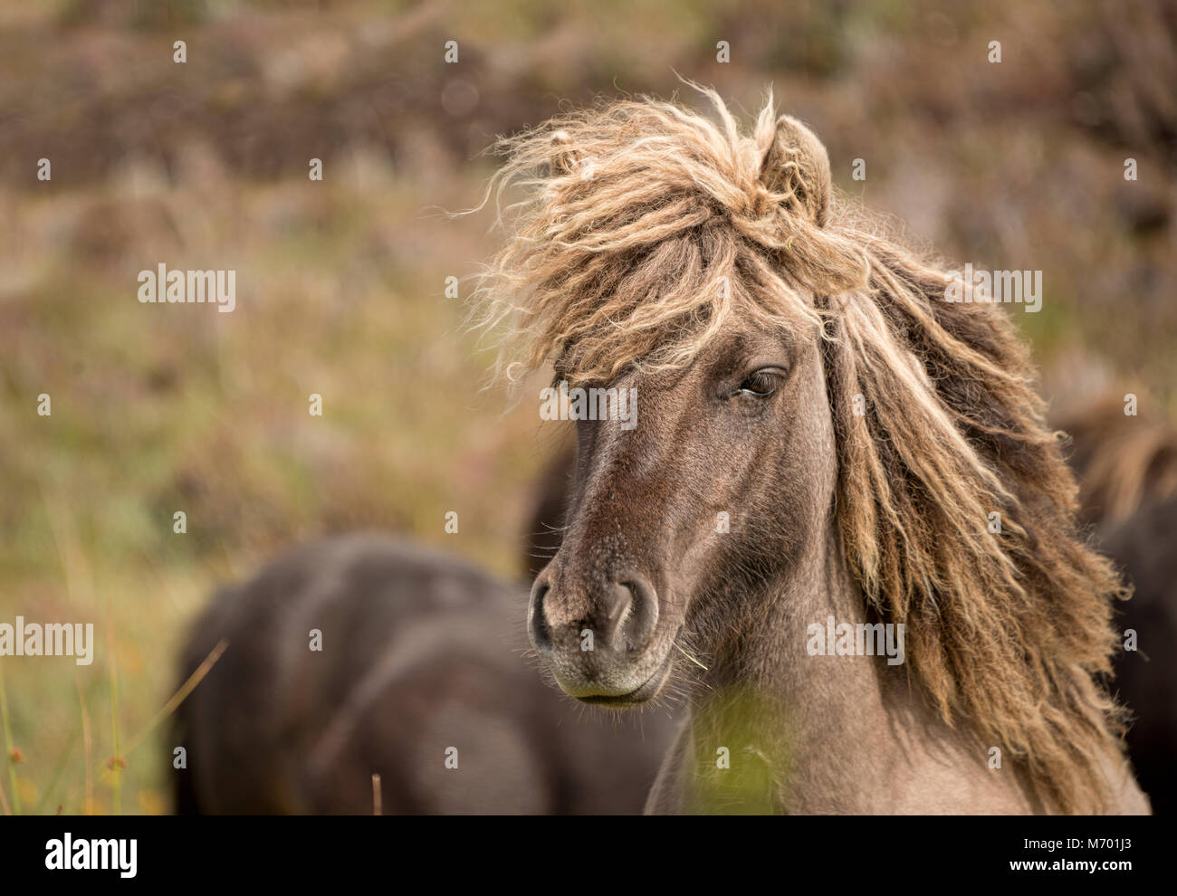 Shetland pony south Uist outer Hebrides Scotland Stock Photo