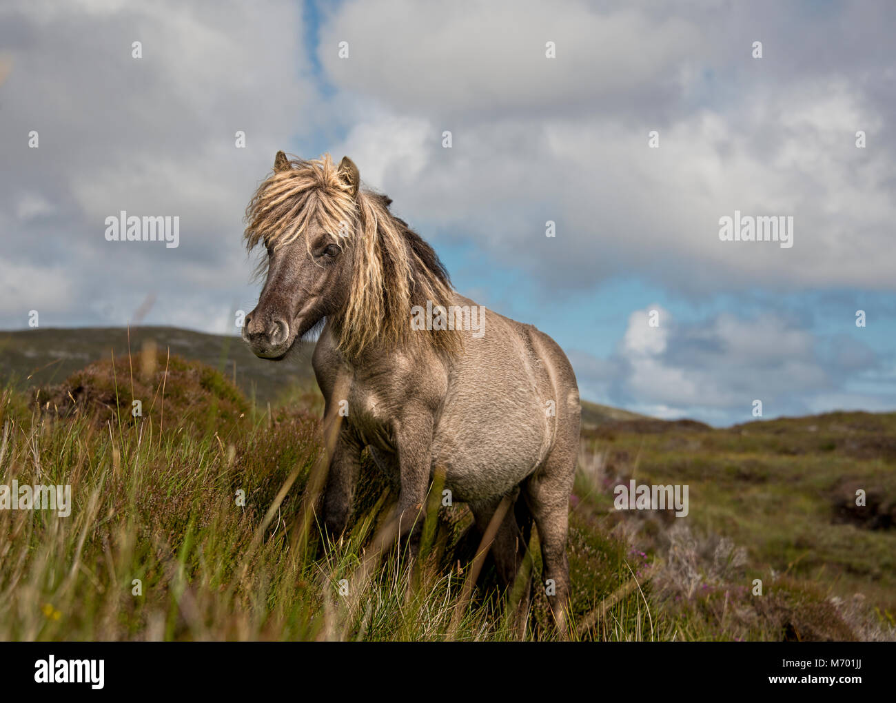 Shetland pony south Uist outer Hebrides Scotland - Stock Image