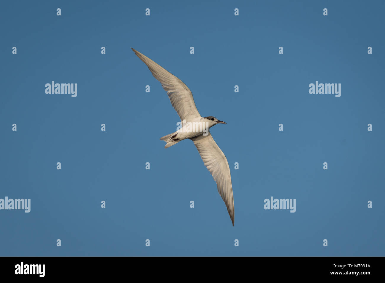 The little tern (Sternula albifrons) is a seabird of the family, Laridae. Non-breeding adult in flight. - Stock Image