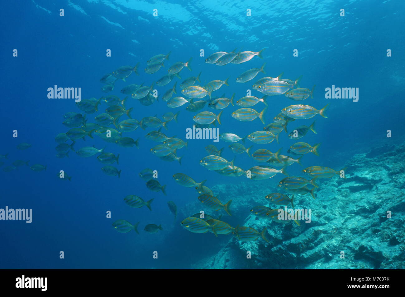 School of fish sea bream salema porgy underwater in the Mediterranean sea, Vermilion coast, Pyrenees-Orientales, Stock Photo