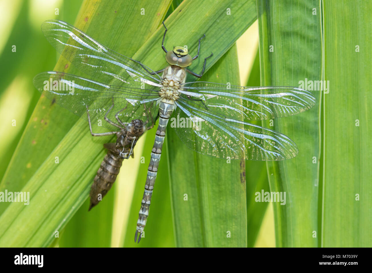 A recently hatched dragonfly next to the shell of the nymph in a garden, Milborne Port, Somerset, England, UK - Stock Image