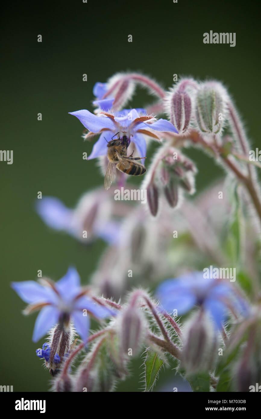 Bee pollinating borage in a garden, Milborne Port, Somerset, England, UK - Stock Image