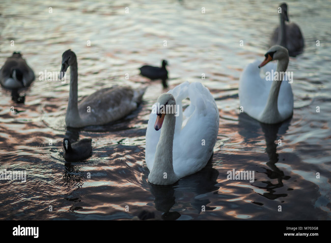 Swans on the Round Pound in Hyde Park at dusk, London, England, UK - Stock Image
