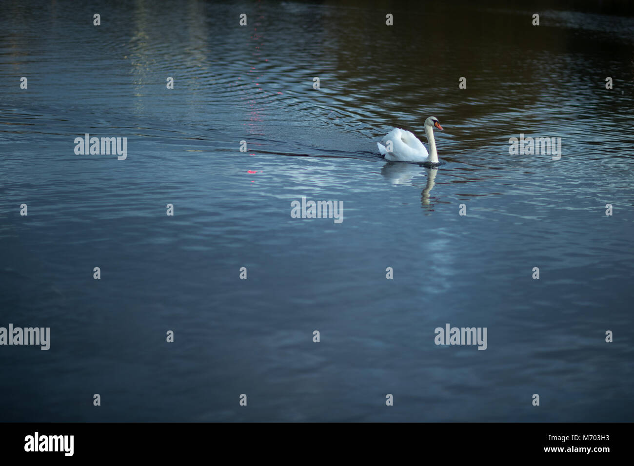 A swan on the Round Pound in Hyde Park at dusk, London, England, UK - Stock Image