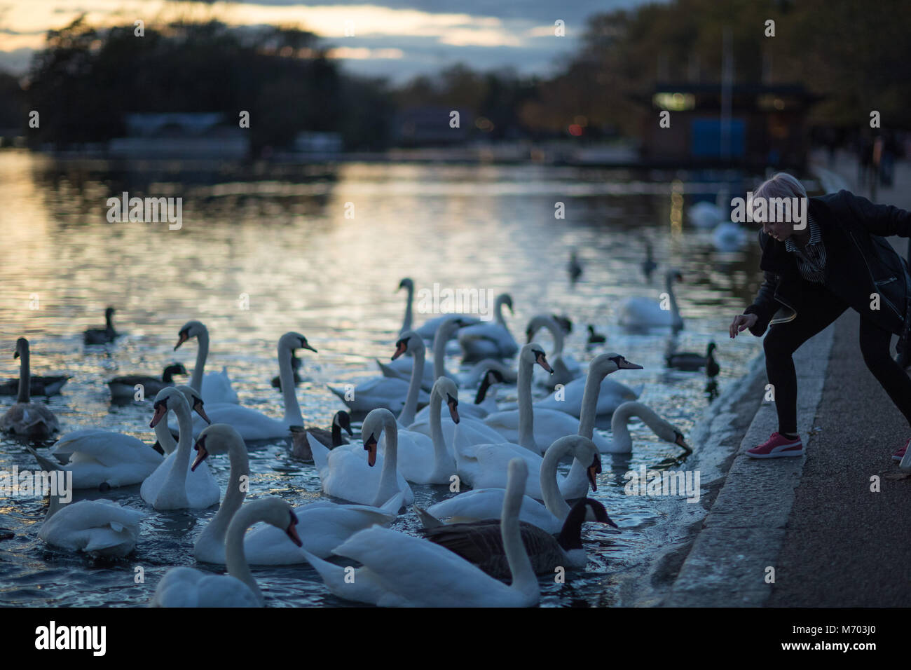 A woman feeding the swans on the Round Pound in Hyde Park at dusk, London, England, UK - Stock Image