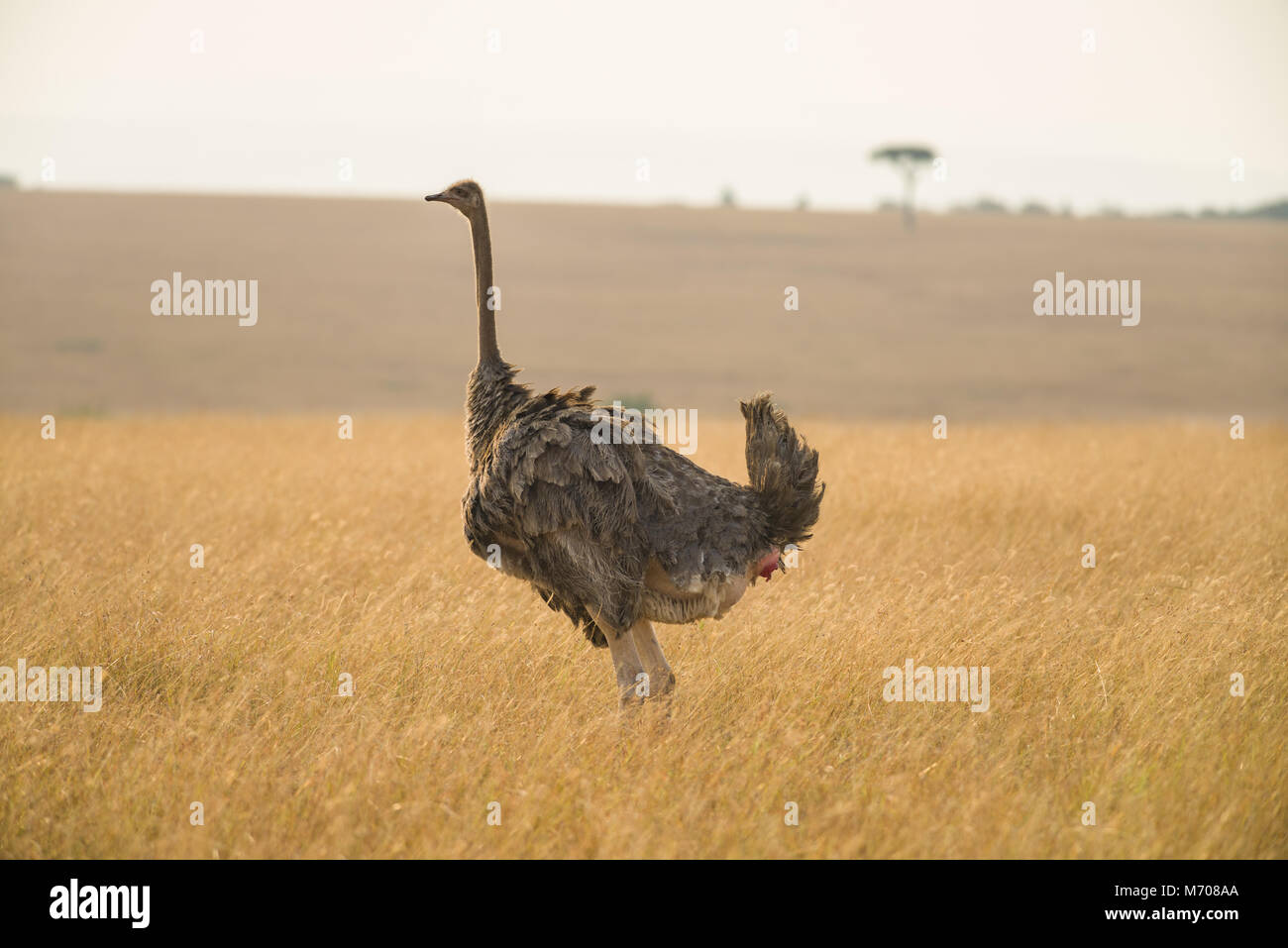 A female ostrich or common ostrich (Struthio camelus) standing in dry grass on a hazy sunny day, Masai Mara, Kenya - Stock Image
