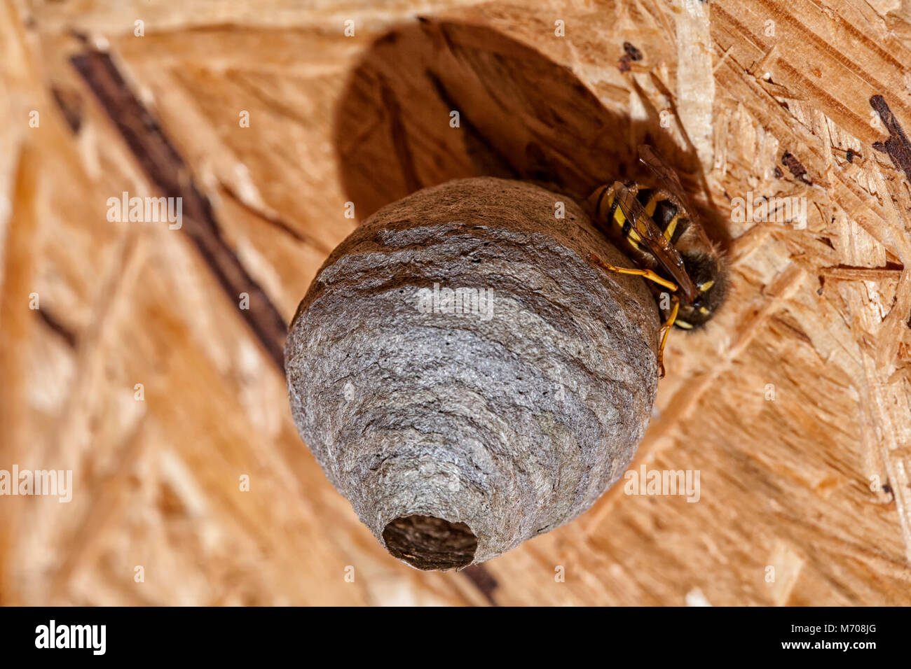 A shed wasp's nest being built on the ceiling of a garden shed, the nest is completed within a couple of days - Stock Image