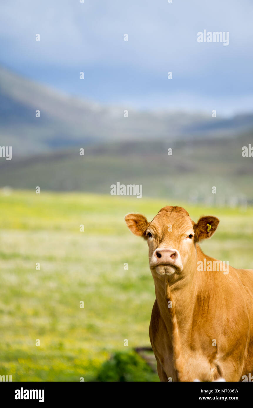 Single Limousine cow in wildlife machair grazing land with the hills of South Uist in the background Stock Photo
