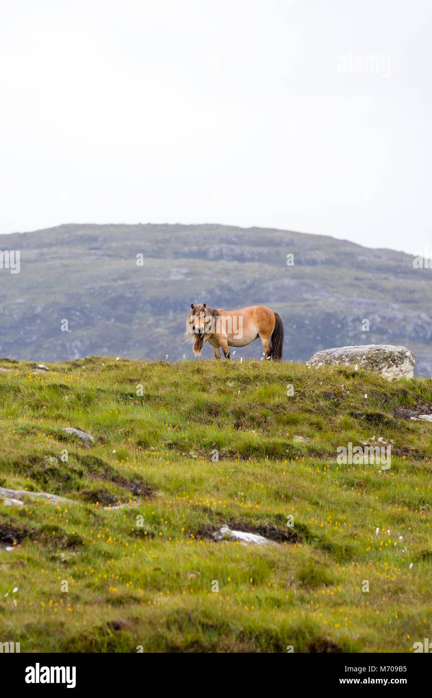 Wild ponies on the hills at Lochdruidibeg, Isle of South Uist, Outer hebrides, Scotland, UK - Stock Image
