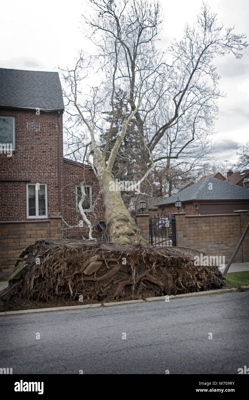 A large London Plane tree that was blown over during a March Nor'Easter in Flushing, Queens, New York City. Stock Photo