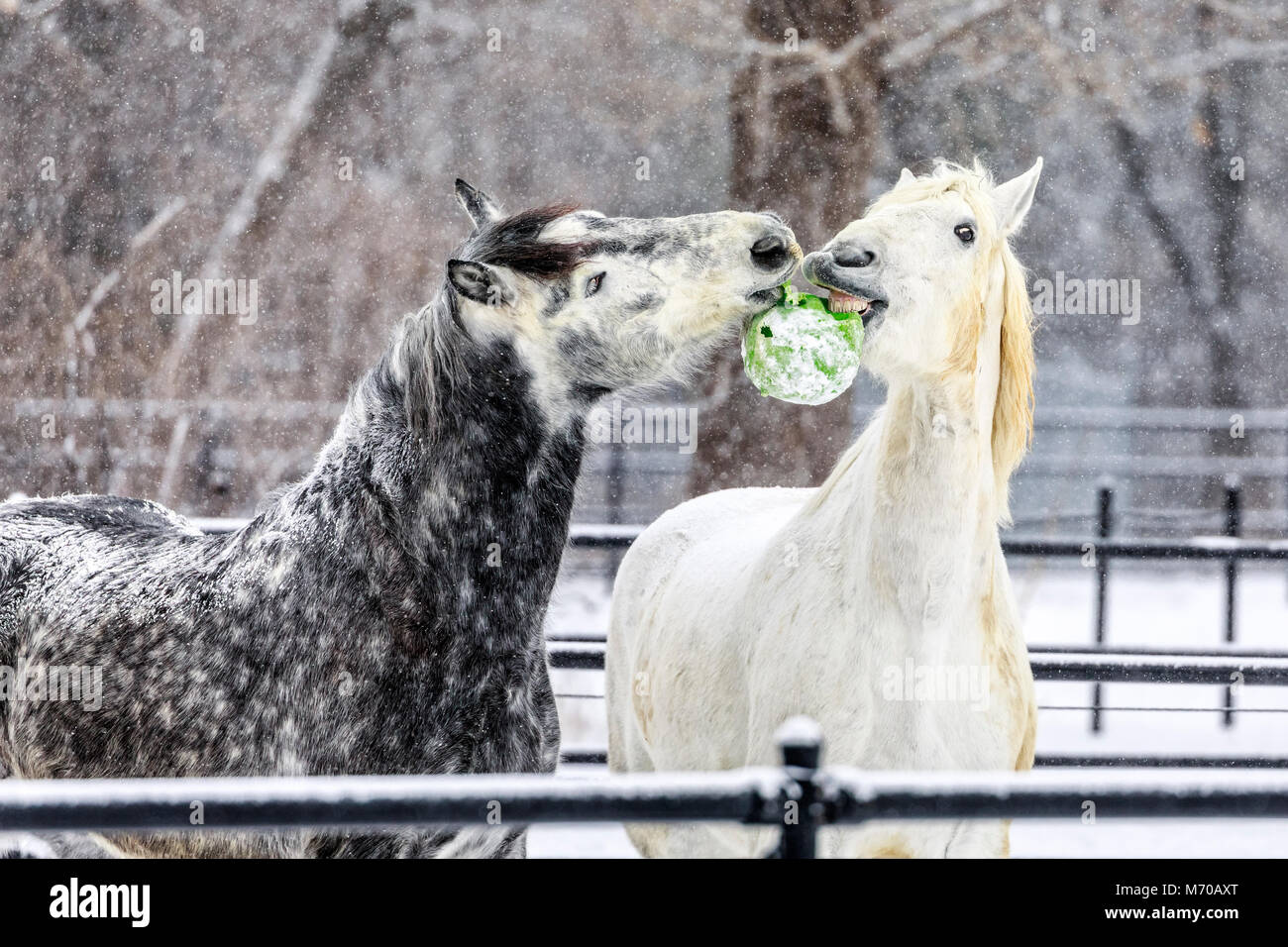 Playful Percheron horses at McFeeters Heavy Horse Centre, Winnipeg, Manitoba, Canada. - Stock Image