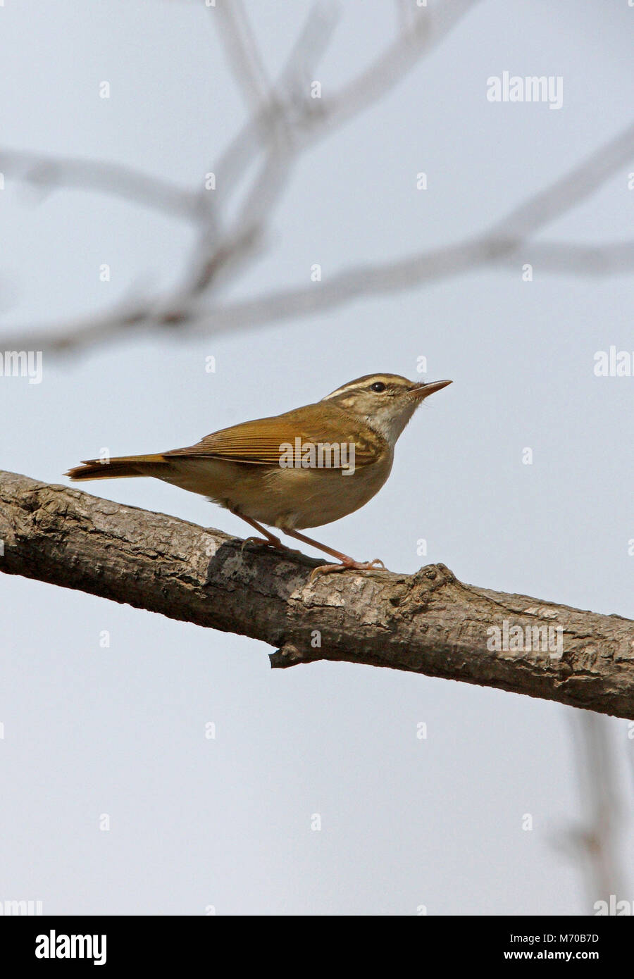 Pale-legged Leaf Warbler (Phylloscopus tenellipes) adult standing on branch  Hebei, China           May Stock Photo