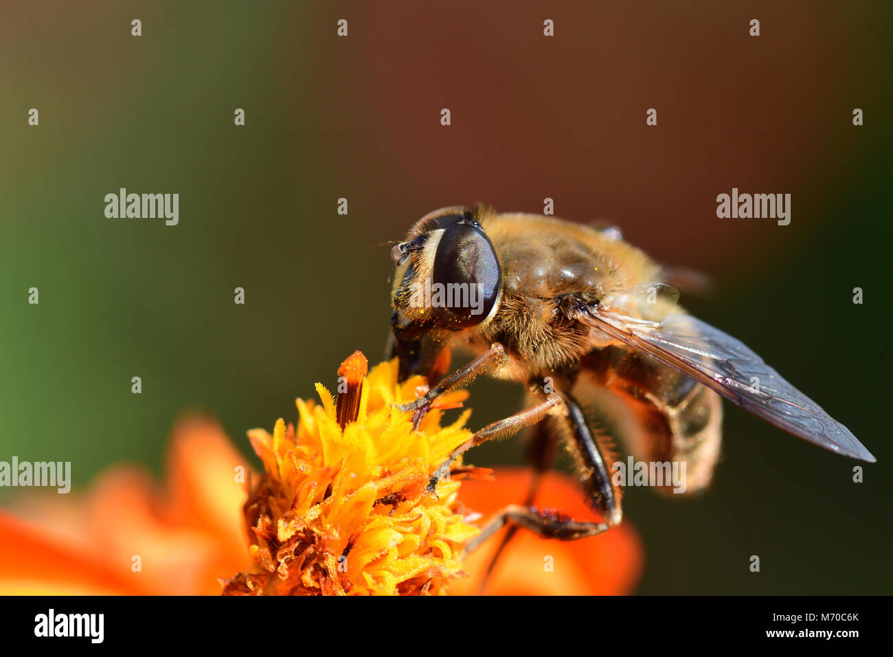 Macro shot of a bee pollinating an orange coreopsis flower - Stock Image