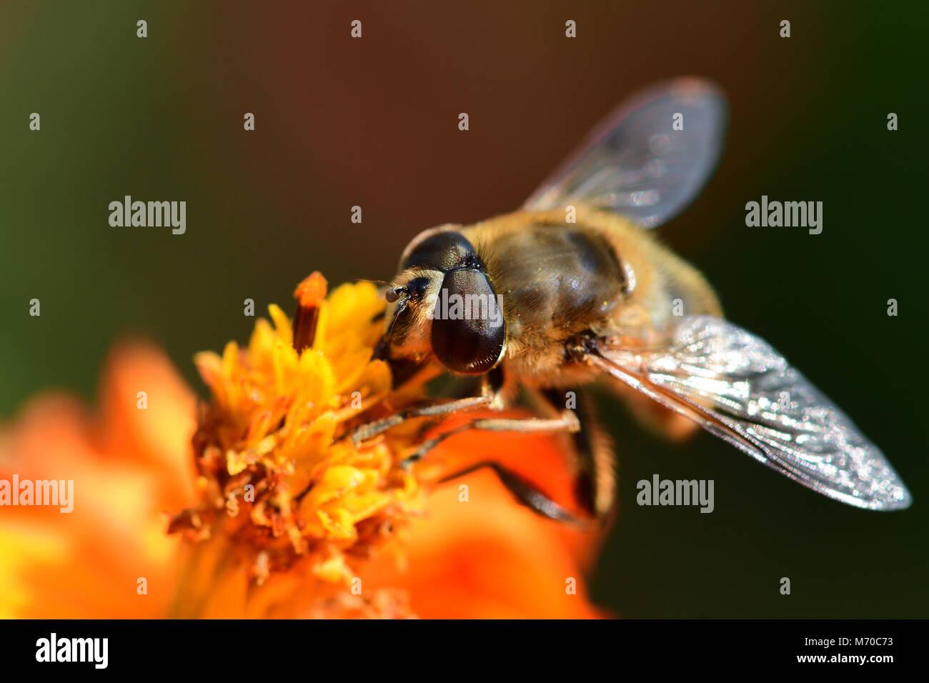 Macro shot of a bee pollinating an orange coreopsis flower - Stock Image