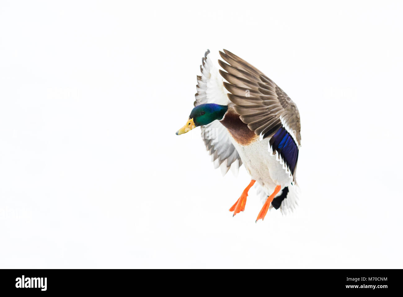 mallard in flight - Stock Image