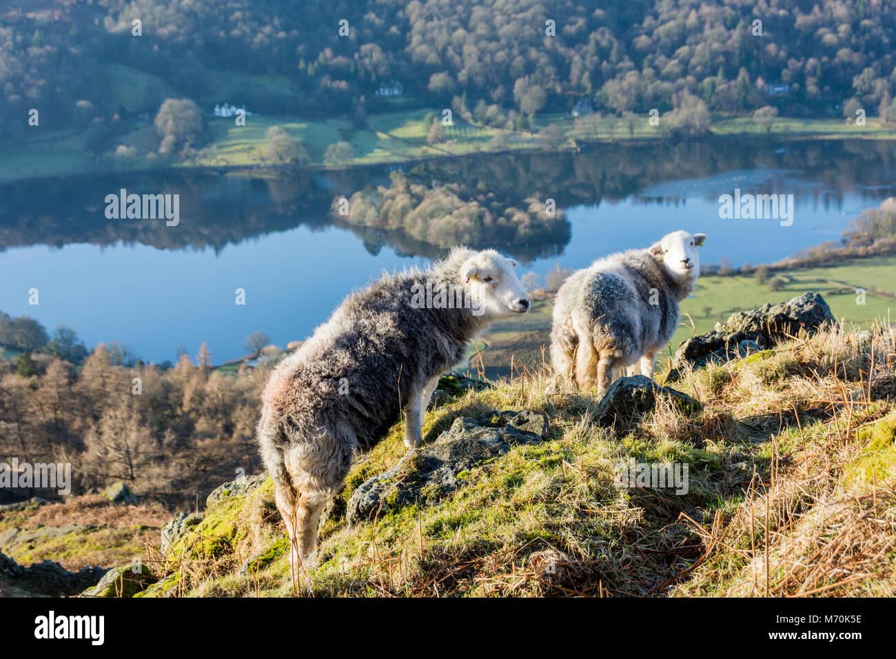 Herdwick sheep on knoll beside Grasmere, Lake District National Park, England - Stock Image