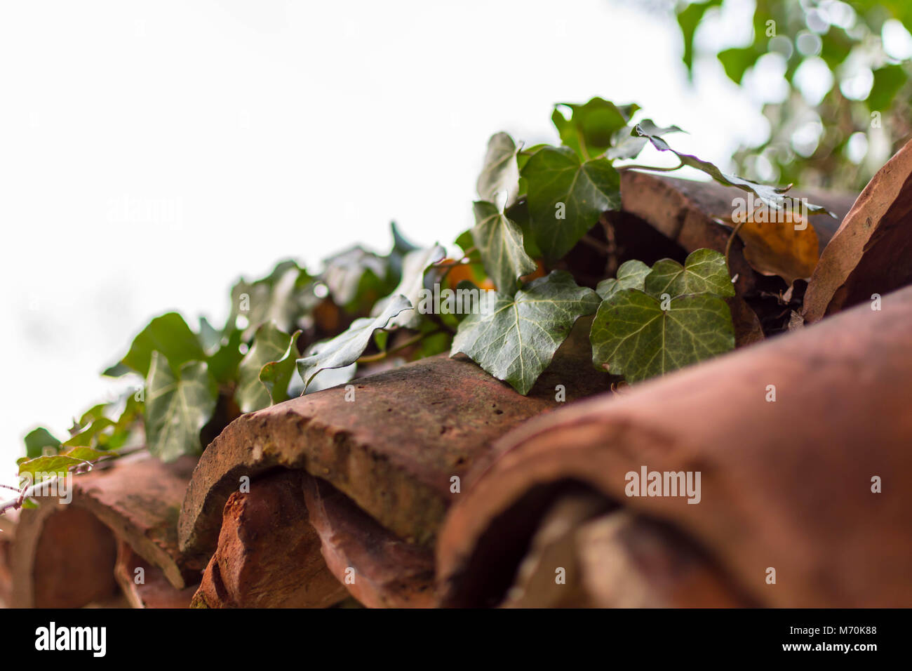 Ivy sprawling on worn-out roof tiles - Stock Image