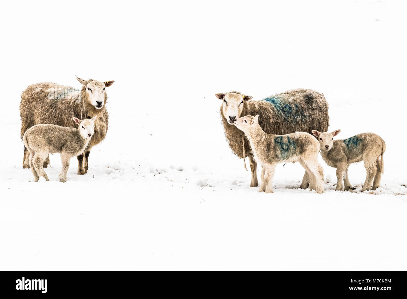 Yetholm, Kelso, Scottish Borders, UK. 4th March 2018. Ewes and lambs in a snow covered field near the Border village - Stock Image