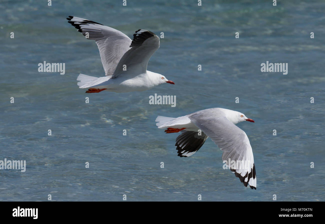 Silver gull Chroicocephalus novaehollandiae in flight on beach - Stock Image