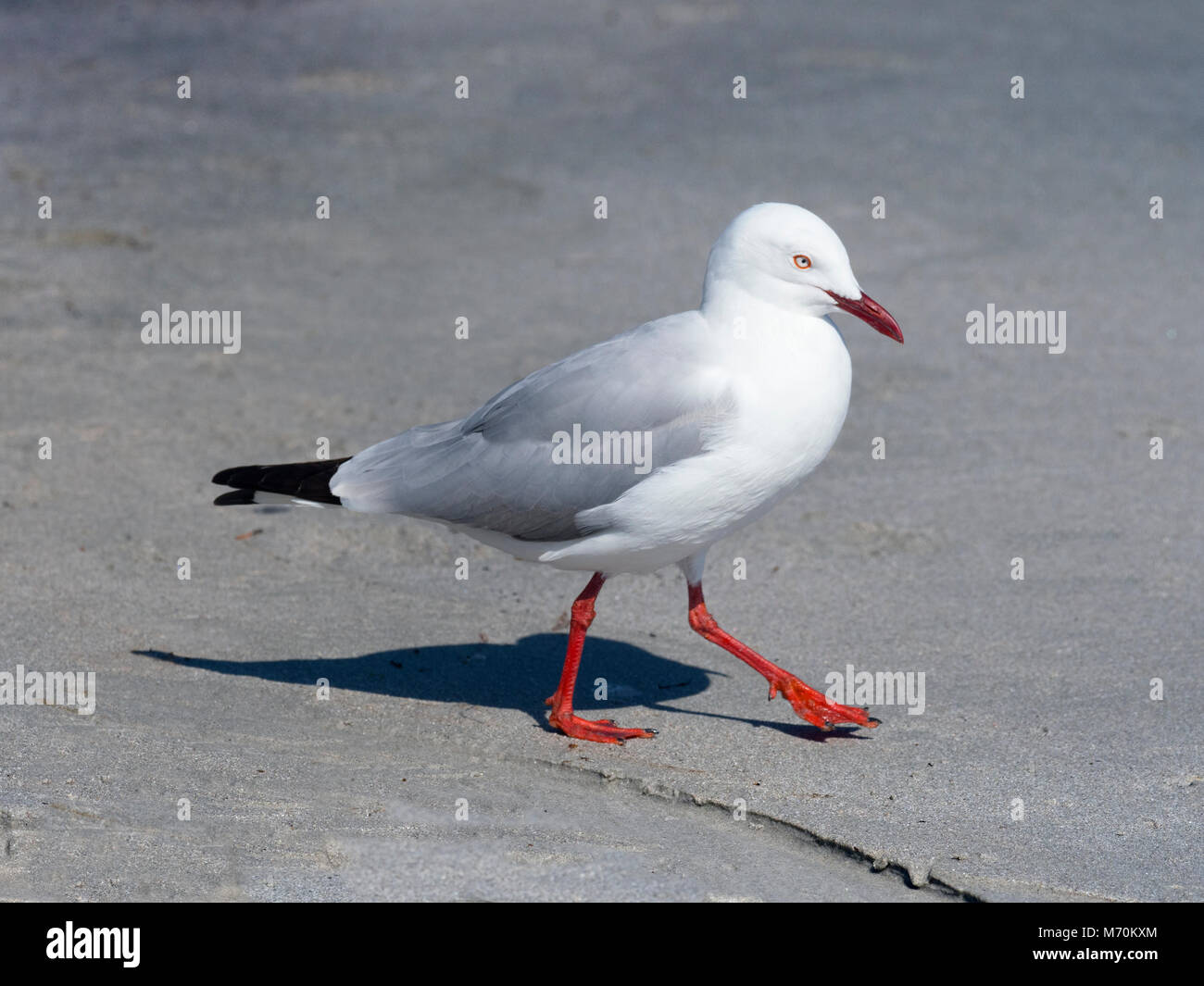 Silver gull Chroicocephalus novaehollandiae on beach - Stock Image