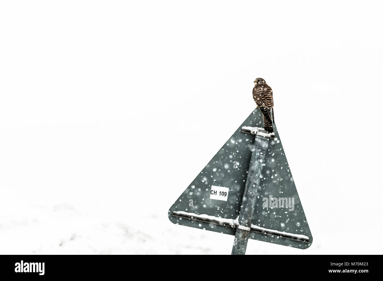 Swinside, Jedburgh, Scottish Borders, UK. 28th February 2018. A female Kestrel (Falco tinnunculus) sits on a road - Stock Image