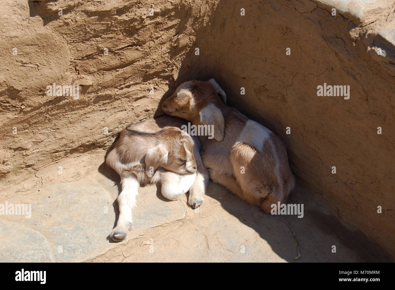 Baby goats asleep in a village in Uttarakhand, India - Stock Image