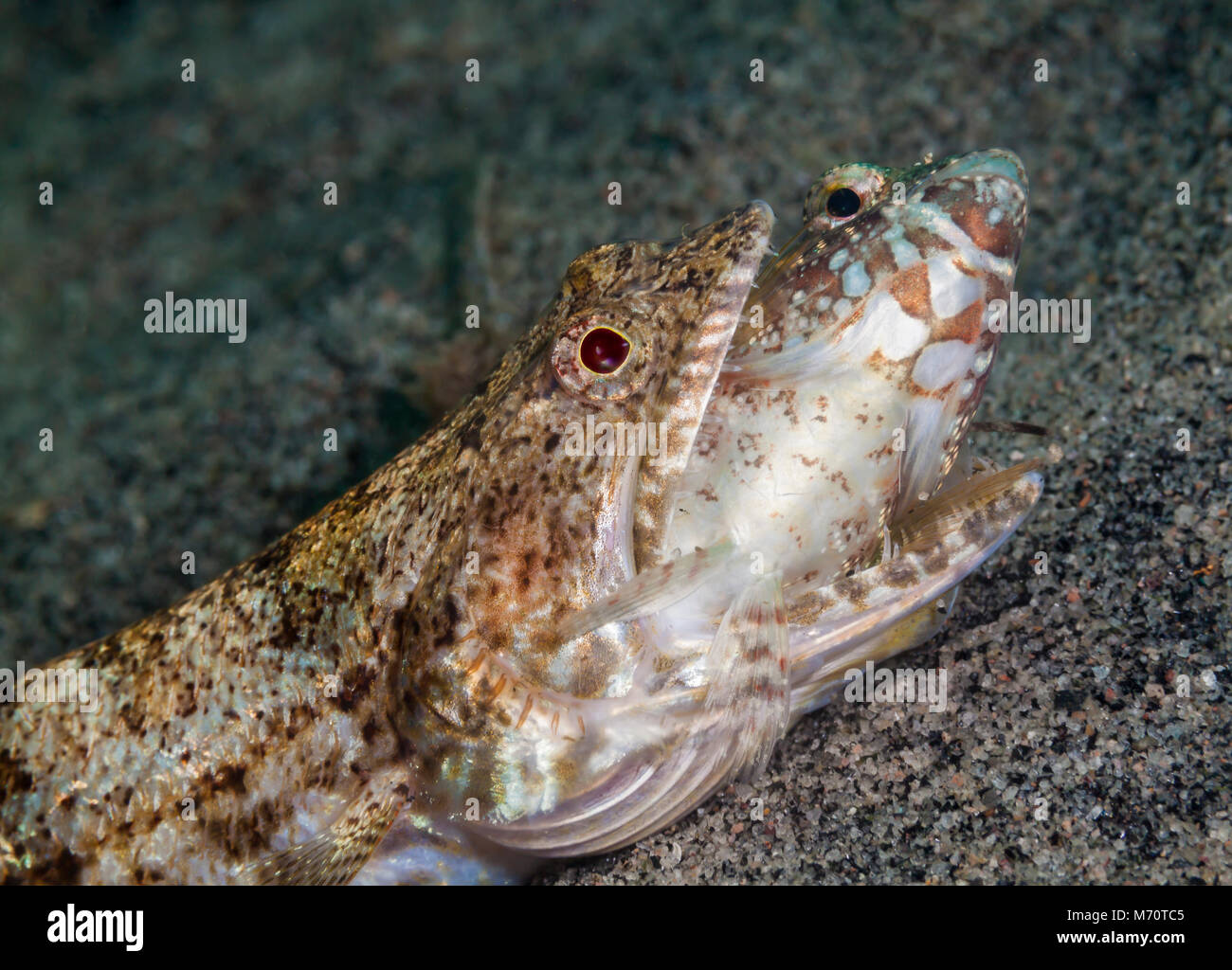 Lizardfish preying on smaller fish in the Philippines - Stock Image