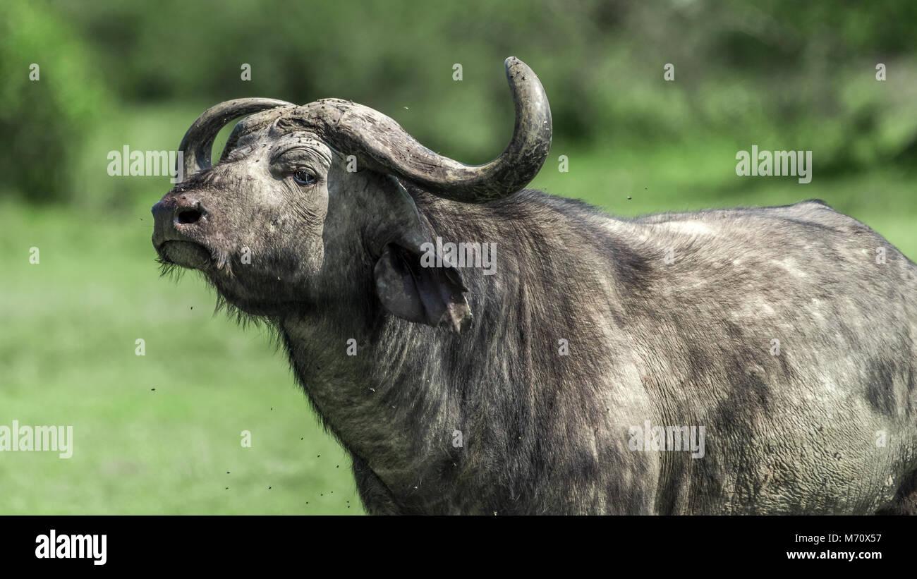 Cape buffalo (Syncerus caffer) covered with flies, Grumeti Game Reserve, Serengeti, Tasmania - Stock Image