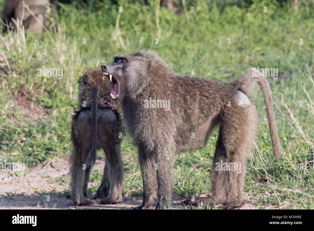 Toothy grin, olive baboon (Papio anubis) at Gumeti Game Reserve, Serengeti, Tanzania - Stock Image