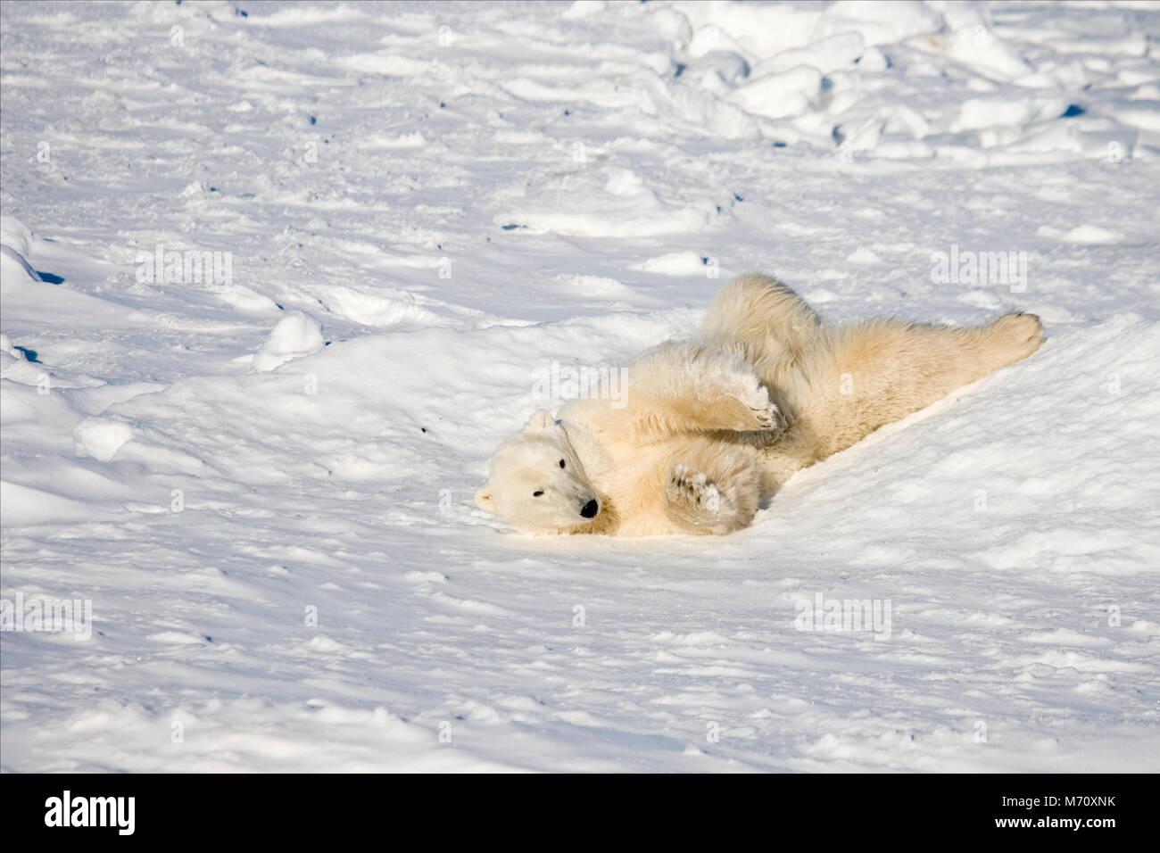 01874-110.16 Polar Bear (Ursus maritimus) near Hudson Bay, Churchill  MB, Canada - Stock Image